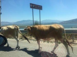 Albania kravy